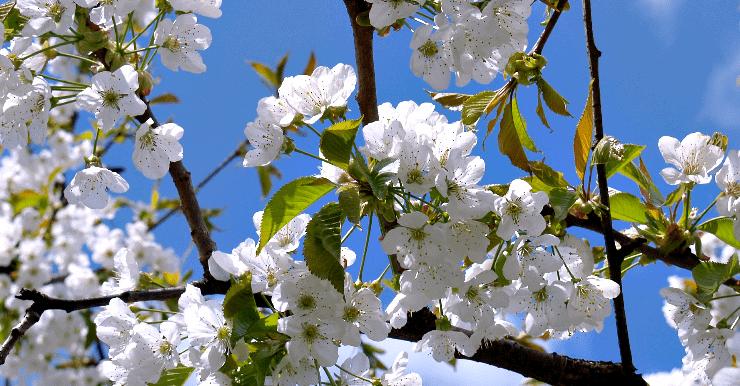 Poesia Zen - Due ciliegi innamorati